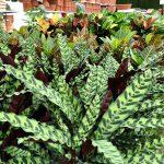 Calathee e Croton variegate.