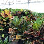 Coloratissimo mix di coedium variegatum.