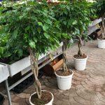 Ficus benjamin ramificati e intrecciati.
