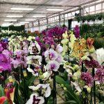 Phalaenopsis in vari colori e forme.